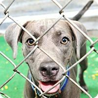 Adopt A Pet :: Blue - St John, VI