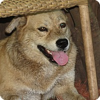 Chow Chow/Shepherd (Unknown Type) Mix Dog for adoption in Middleburg, Florida - Foxy