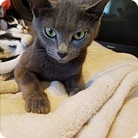 Adopt A Pet :: Madison Grey - Homewood, AL