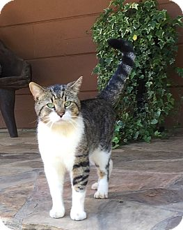 Domestic Shorthair Cat for adoption in Columbia, South Carolina - Mr. Bigg