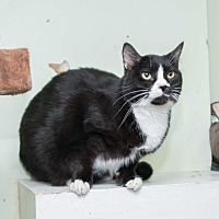 Domestic Shorthair Cat for adoption in Chicago, Illinois - Jerry Garcia