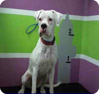 Boxer Mix Puppy for adoption in Austin, Texas - Snowberry