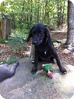 Labrador Retriever/Retriever (Unknown Type) Mix Puppy for adoption in Manchester, New Hampshire - Crisy