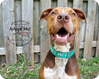 Pit Bull Terrier/Pointer Mix Dog for adoption in Austin, Texas - Toby