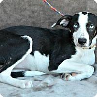 Adopt A Pet :: Summer - Yreka, CA