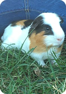 Guinea Pig for adoption in Manhattan, Kansas - A-Rod