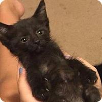 Adopt A Pet :: Kitten Fallon - Cumberland, ME