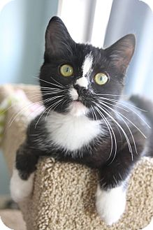 Domestic Shorthair Kitten for adoption in THORNHILL, Ontario - Bagel
