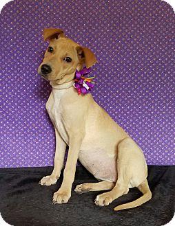 Labrador Retriever/Whippet Mix Puppy for adoption in Troutville, Virginia - Callie