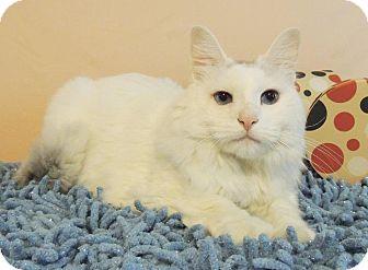 Domestic Longhair Cat for adoption in Roanoke, Texas - Jorge
