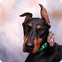 Adopt A Pet :: Scarlett Dobie - St. Louis, MO
