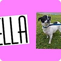 Adopt A Pet :: ELLA - Plano, TX