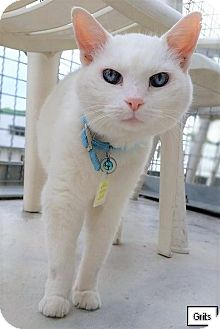 Domestic Shorthair Cat for adoption in Lakewood, Colorado - Grits