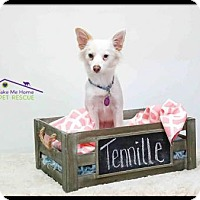 Adopt A Pet :: Tennille - Richardson, TX
