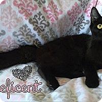 Adopt A Pet :: Maleficent - Tampa, FL