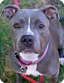 Boxer/Pit Bull Terrier Mix Dog for adoption in Livonia, Michigan - Bunny - CP