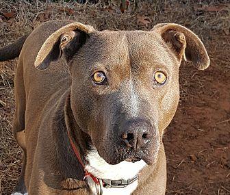 Weimaraner Dog for adoption in Gainesville, Georgia - blue