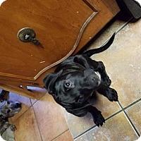 Adopt A Pet :: Big Bear - Von Ormy, TX
