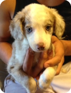 Australian Shepherd Mix Puppy for adoption in Modesto, California - Elle