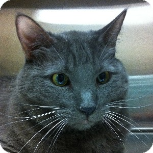 Domestic Shorthair Cat for adoption in Gilbert, Arizona - Zack