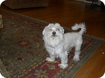 Maltese Dog for adoption in Charlotte, North Carolina - Hops