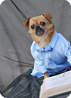 Pug/Chihuahua Mix Dog for adoption in Harrodsburg, Kentucky - Tinker