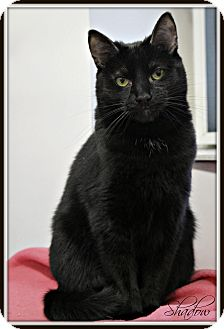 Domestic Shorthair Cat for adoption in Dunkirk, New York - Shadow