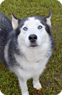 Siberian Husky Dog for adoption in Roswell, Georgia - Spanky