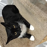 Domestic Shorthair Cat for adoption in Fredericksburg, Virginia - Maggie