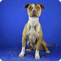 Adopt A Pet :: JACK DANIELS - Norman, OK