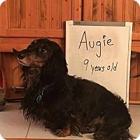 Adopt A Pet :: Augie - Marcellus, MI