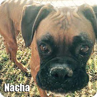 Boxer Dog for adoption in Encino, California - Nacha