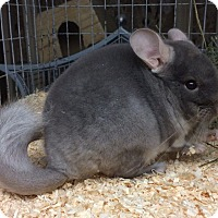 Adopt A Pet :: 3 mo brown velvet F chinchilla - Hammond, IN