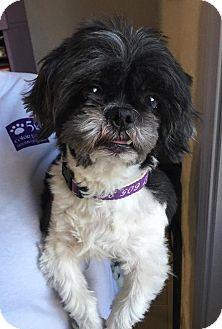 Shih Tzu Mix Dog for adoption in Urbana, Ohio - Jagger Ranger