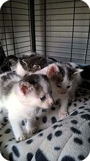 Domestic Shorthair Kitten for adoption in millville, New Jersey - dot