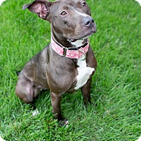 Adopt A Pet :: Cocoa - Des Peres, MO