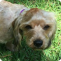 Adopt A Pet :: Charley - Albany, NY
