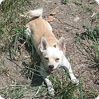 Chihuahua/Pomeranian Mix Dog for adoption in Blacksburg, South Carolina - Hank