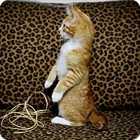 Adopt A Pet :: Gingi - Los Angeles, CA