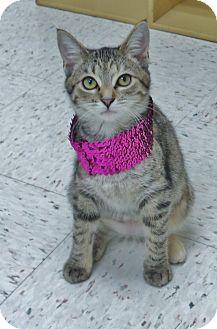 Domestic Shorthair Cat for adoption in Chambersburg, Pennsylvania - Amelia