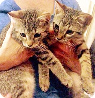 Domestic Shorthair Kitten for adoption in Brooklyn, New York - Purrky and Rimsky, Playful Purr-Babies