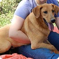 Golden Retriever/German Shepherd Dog Mix Puppy for adoption in Burlington, Vermont - Hank (60 lb) Video!