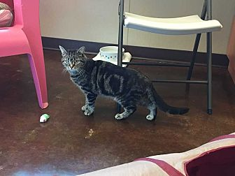 Domestic Shorthair Cat for adoption in Mebane, North Carolina - Loretta Lynn