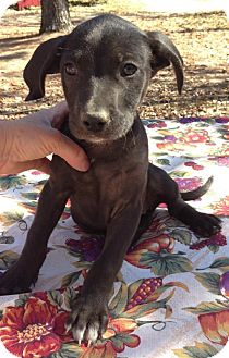 Labrador Retriever Mix Puppy for adoption in Hagerstown, Maryland - Abilene