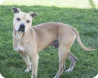 Terrier (Unknown Type, Medium)/American Pit Bull Terrier Mix Dog for adoption in Bedford, Indiana - Bruiser