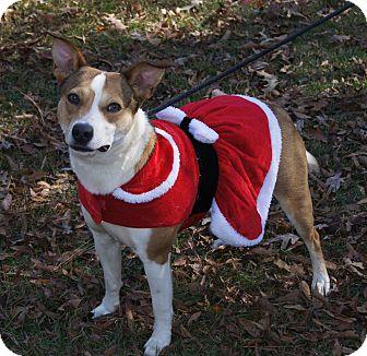 Basenji/Australian Cattle Dog Mix Dog for adoption in Brattleboro, Vermont - Sweet Jersey ~ DOB 5/29/2015!