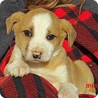 Australian Shepherd/Retriever (Unknown Type) Mix Puppy for adoption in West Sand Lake, New York - Legend (5 lb) Video!