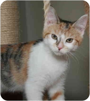 Calico Kitten for adoption in Cincinnati, Ohio - Juliet