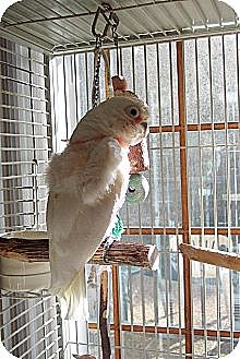 Cockatoo for adoption in Concord, California - Romeo