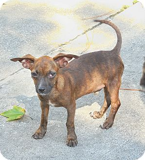Chihuahua/Dachshund Mix Puppy for adoption in Ormond Beach, Florida - Brownie